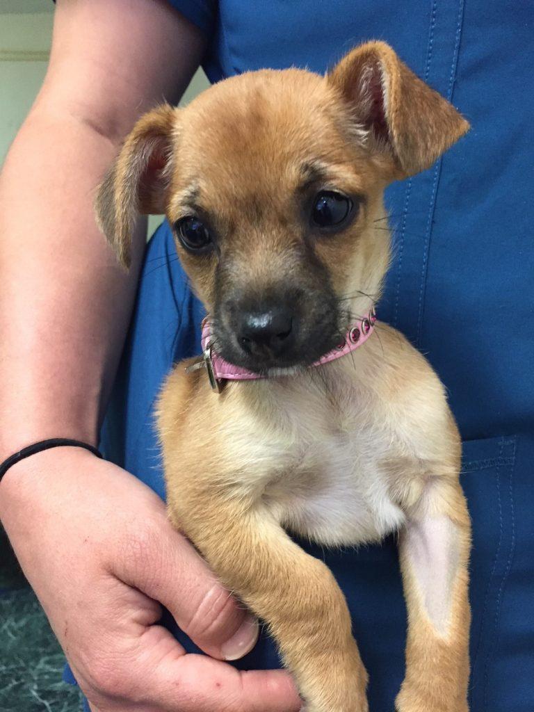 La pequeña Falla Bella fue acogida durante varias semanas antes de que estuviera lista para su adopción.