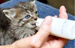 Alimentar a los gatitos huérfanos con biberón es una experiencia súper gratificante y literalmente salva sus vidas.