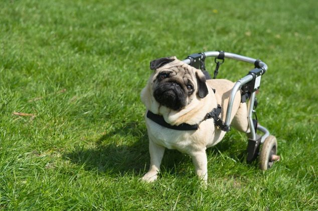 pug dog with wheels on back legs