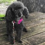 London gray poodle saved