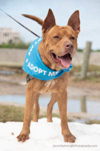 adoptable dog big red at paws in motion 2021